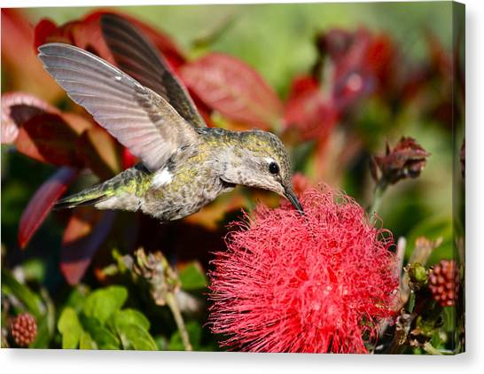 Hummingbird And Red Flower Canvas Print