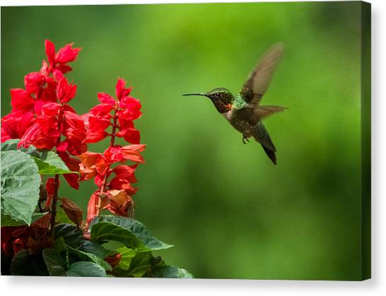 Hummingbird And Scarlet Sage Canvas Print