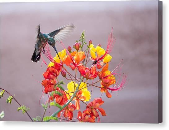 Hummingbird At Work Canvas Print