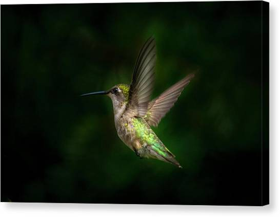 Hummingbird B Canvas Print