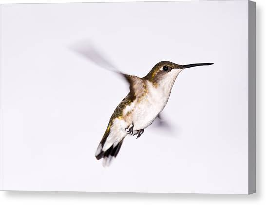 Hummingbird Canvas Print by Edward Myers