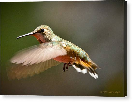 Hummingbird Facing Left Canvas Print