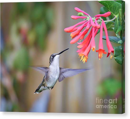 Hummingbird Happiness 2 Canvas Print