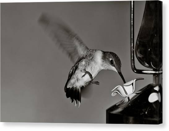 Hummingbird In Black And White Canvas Print by Edward Myers