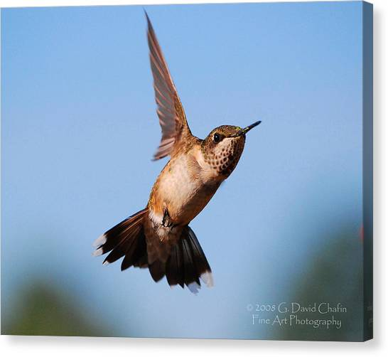 Hummingbird In Flight Canvas Print by Dave Chafin