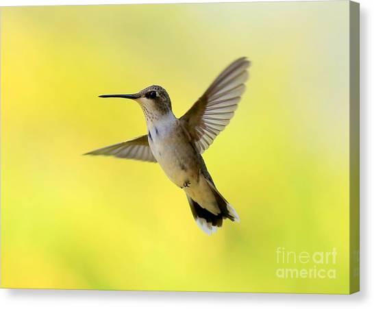 Hummingbird In Yellow Canvas Print