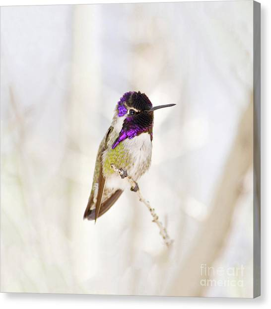 Hummingbird Larger Background Canvas Print