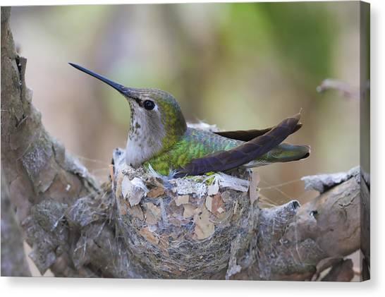 Hummingbird On Nest Canvas Print