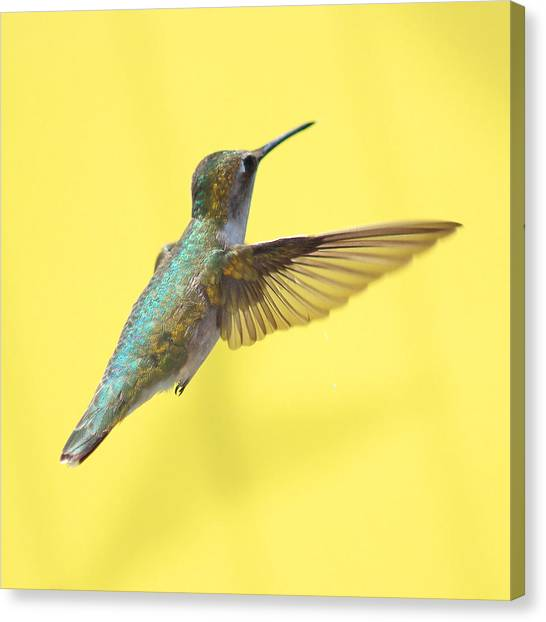 Flight Canvas Print - Hummingbird On Yellow 3 by Robert  Suits Jr