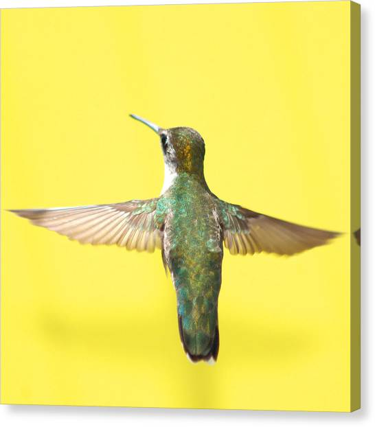 Small Birds Canvas Print - Hummingbird On Yellow 4 by Robert  Suits Jr