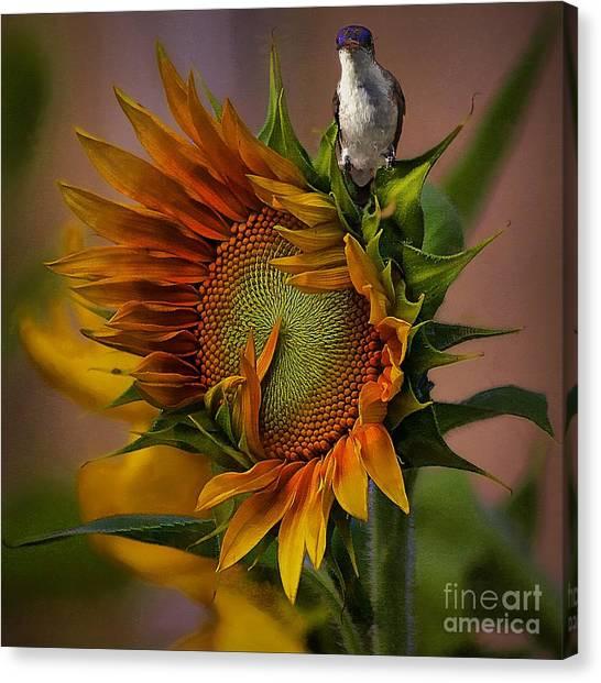 Hummingbird Sitting On Top Of The Sun Canvas Print