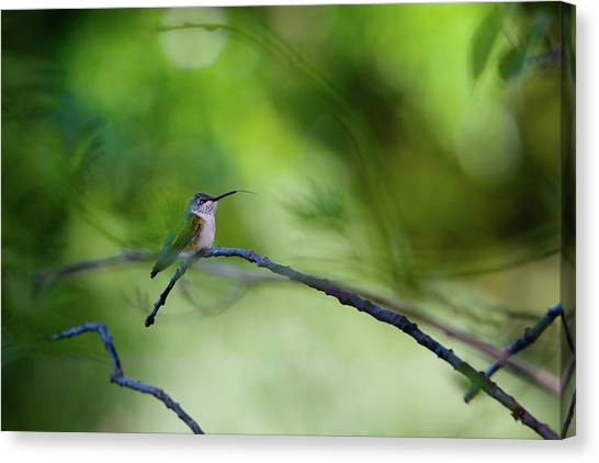 Hummingbird Sticks Out Tongue Canvas Print