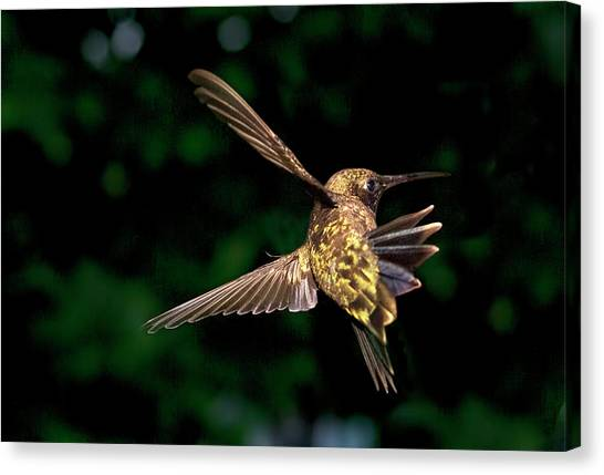Hummingbird Taking Off Canvas Print