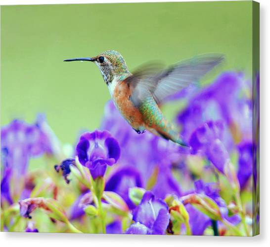 Hummingbird Visiting Violets Canvas Print by Laura Mountainspring