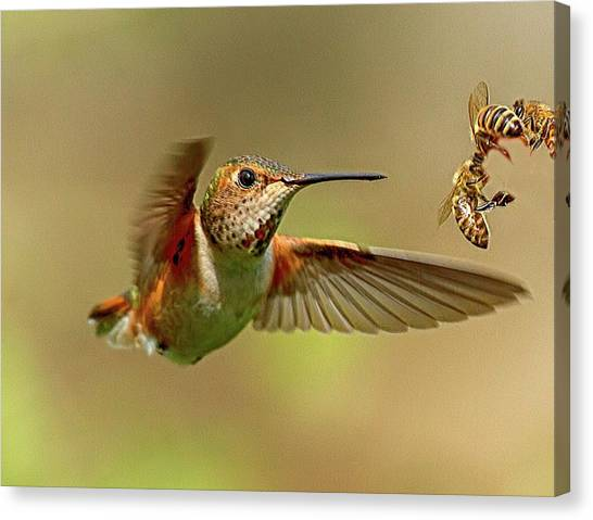 Hummingbird Vs. Bees Canvas Print