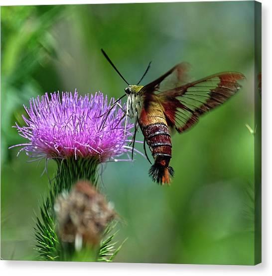 Hummingbirdbird Moth Dining Canvas Print