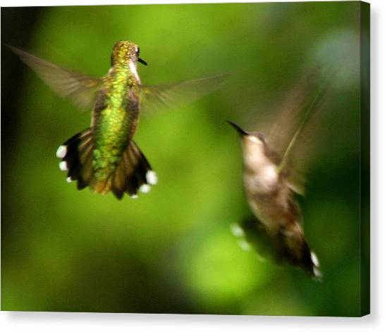 Hummingbirds - Fighting Canvas Print