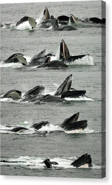 Humpback Whale Bubble-net Feeding Sequence X5 V2 Canvas Print