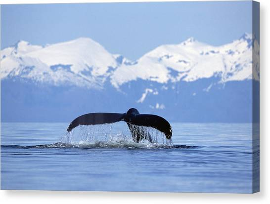 Canvas Print featuring the photograph Humpback Whale Megaptera Novaeangliae by Konrad Wothe
