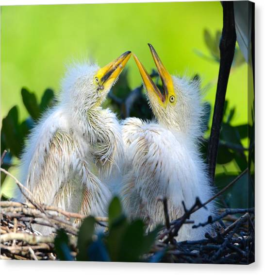 Hungry Egret Chicks Canvas Print