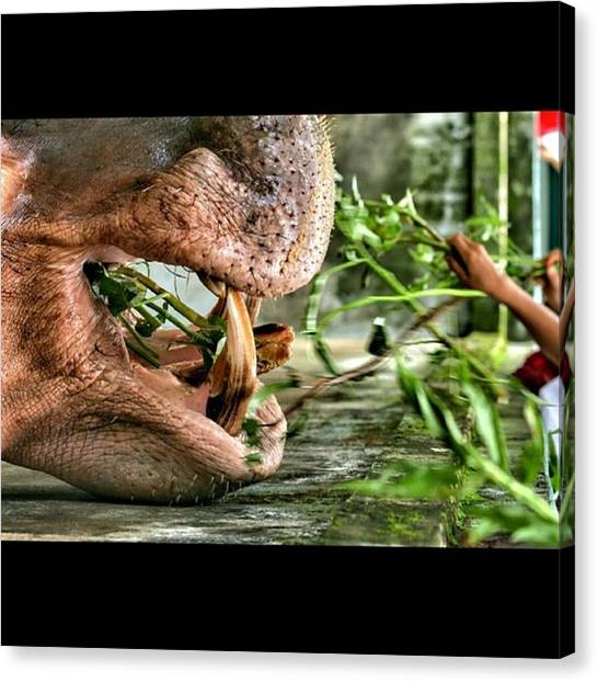 Hippos Canvas Print - Hungry Hands, Willing Mouth. #may14tps by Freddie Tay