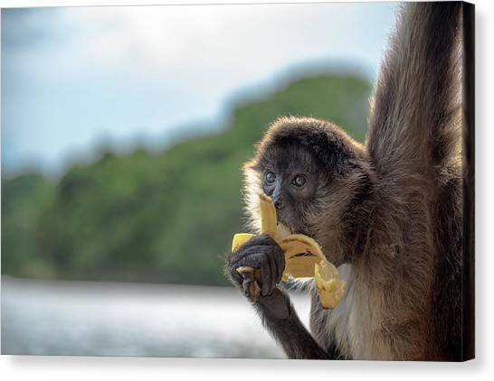 Hungry Monkey Canvas Print by Michael Santos