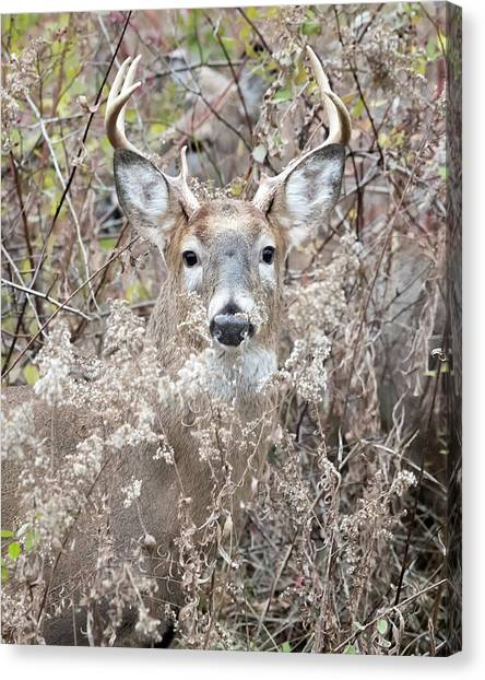 White-tailed Deer Canvas Print - Hunters Dream by Everet Regal