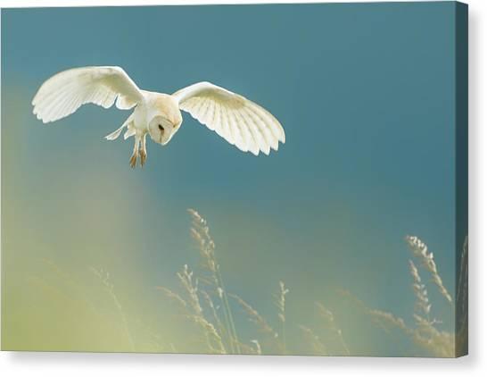 Hunting Barn Owl Canvas Print
