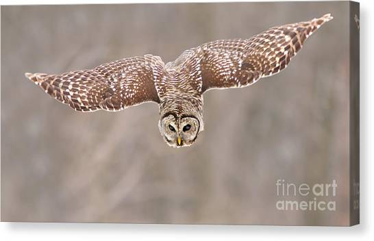 Hunting Barred Owl  Canvas Print