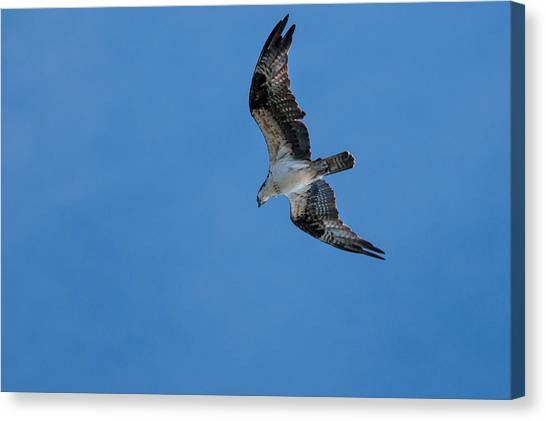 Hunting Osprey Canvas Print