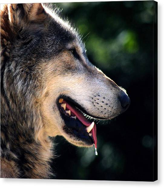 Wolf Canvas Print - Hunting Wolf by Martin Newman