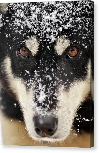 Husky And Snow Close-up Canvas Print