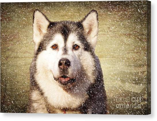 Huskies Canvas Print - Husky by Smart Aviation