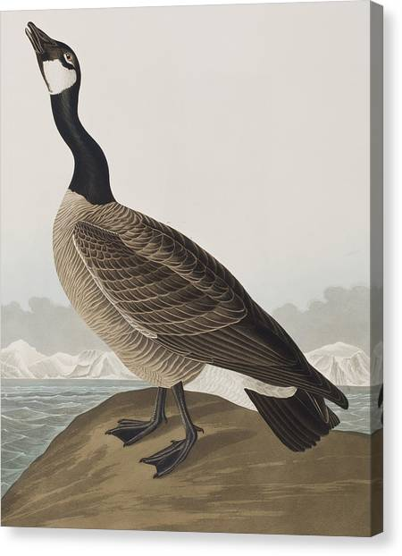 Geese Canvas Print - Hutchins's Barnacle Goose by John James Audubon