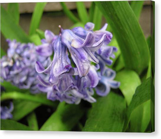 Hyacinth Flowers Canvas Print by Richard Mitchell