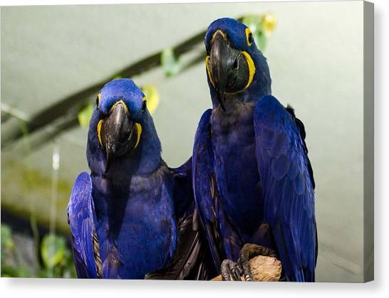 Peacocks Canvas Print - Hyacinth Macaw by Mariel Mcmeeking