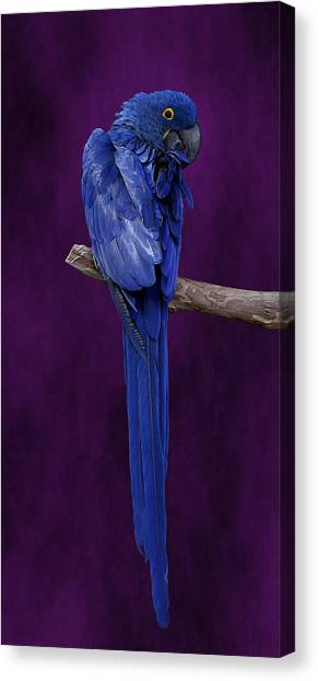Hyacinth Macaw Panoramic Canvas Print