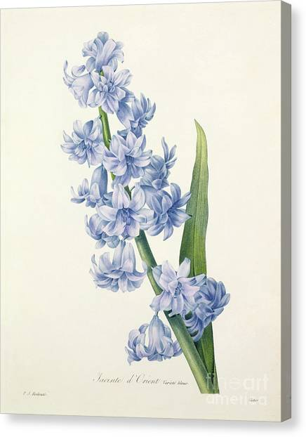 Garden Flowers Canvas Print - Hyacinth by Pierre Joseph Redoute
