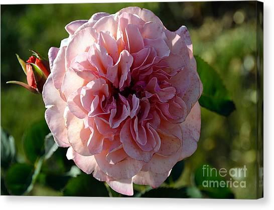 Hybrid Tea Rose Canvas Print