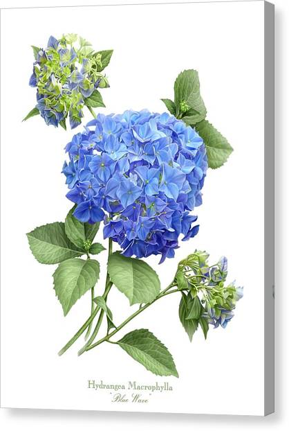 Hydrangea Blue Wave Canvas Print