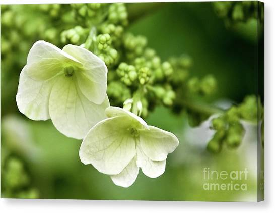Hydrangea Buds Visit Www.angeliniphoto.com For More Canvas Print