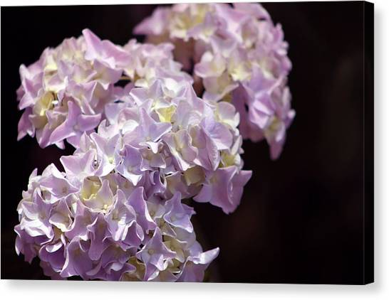 Hydrangea Canvas Print by Evelyn Patrick