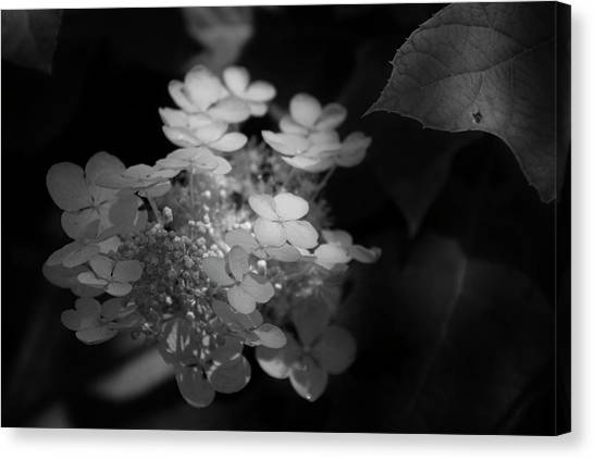 Hydrangea In Black And White Canvas Print by Chrystal Mimbs