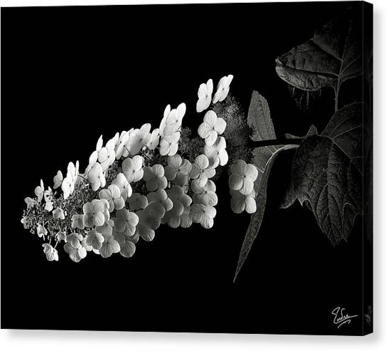 Hydrangea In Black And White Canvas Print