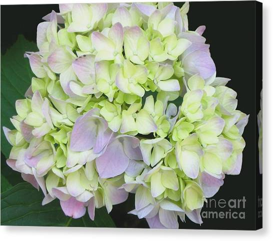 Hydrangea Canvas Print by Linda Vespasian