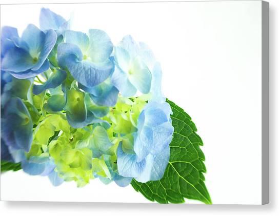 Hydrangea Magic Canvas Print