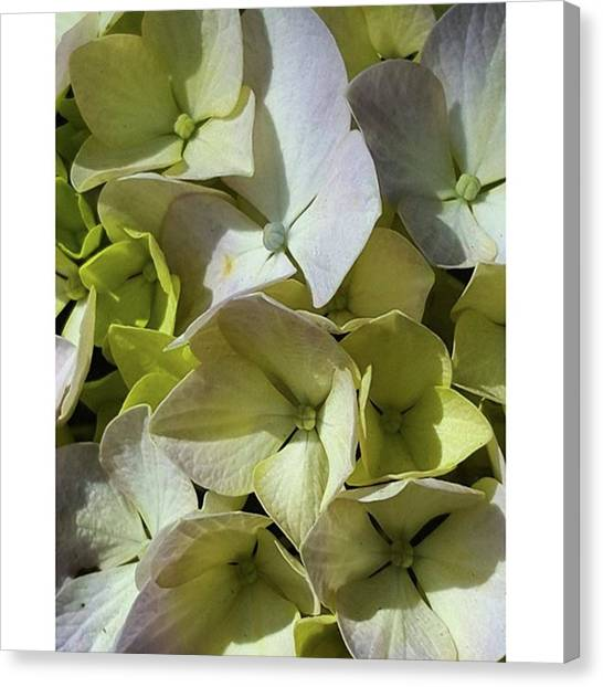 Ivory Canvas Print - #hydrangea #purple #green by Jennifer D