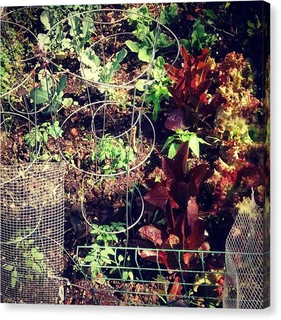 Gardens Canvas Print - I Added Tomatoes And Pepper Plants To by Genevieve Esson