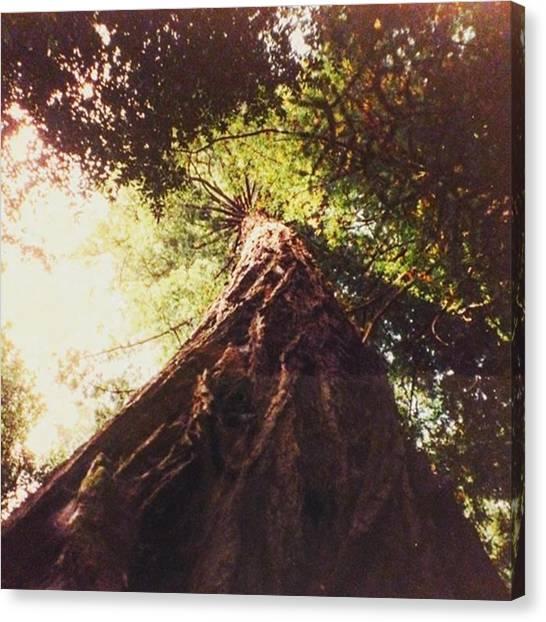 Redwood Forest Canvas Print - I Am Halfway Through My Second Box Of by Caroline B
