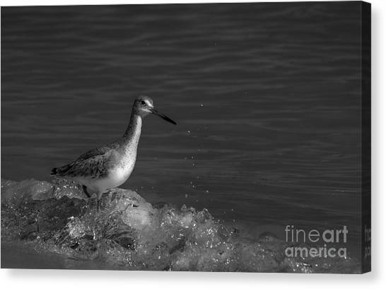 Sandpipers Canvas Print - I Can Make It - Bw by Marvin Spates